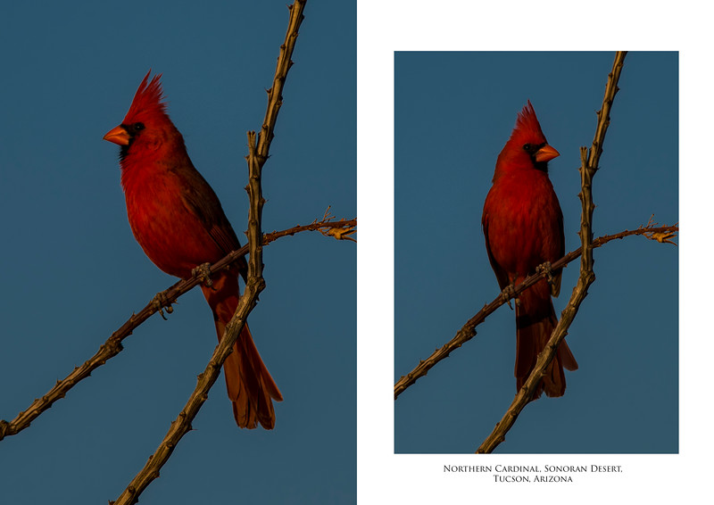 Northern Cardinal 2 image set.jpg
