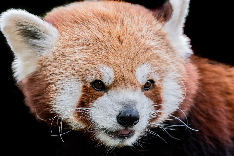 Red panda head close-up in side view