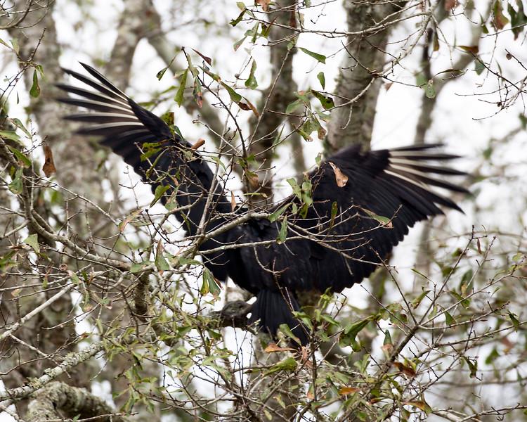 Vulture landing in a tree