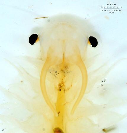 Anostraca  (Fairyshrimps)