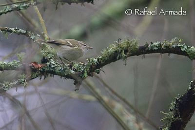 Hume's Leaf Warbler (Phylloscopus humei). St Just (Cornwall), December 2007.