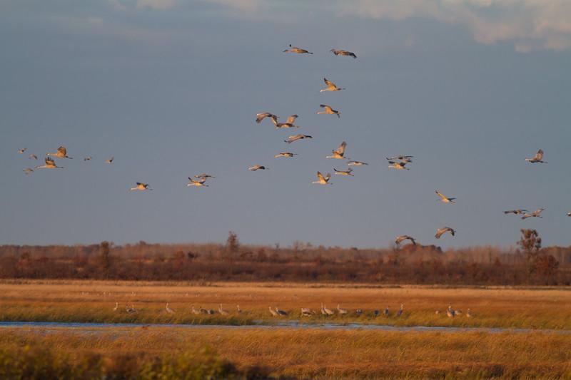 Sandhill Cranes flight flying fly in roost Crex Meadows Grantsburg WI IMG_1821.jpg