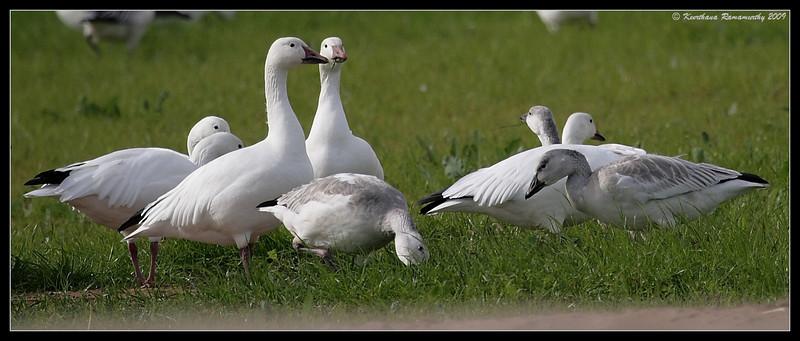 Snow Geese, near Unit 1, Salton Sea, Imperial County, California, November 2009