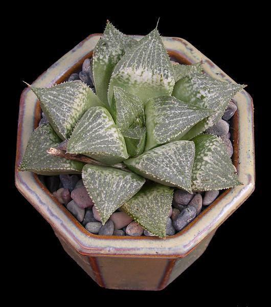 Haworthia (emelyae x herbaceae) x Haworthia emelyae [Japanese Clone]