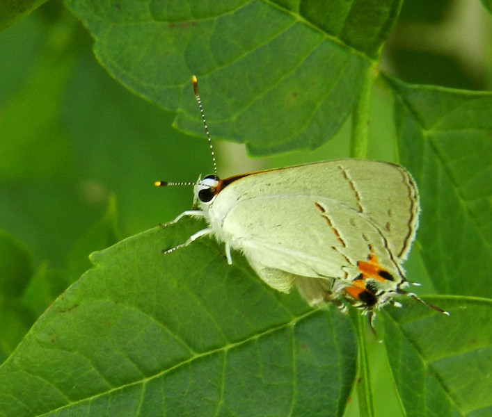 Gray Hairstreak on leaves best2.jpg