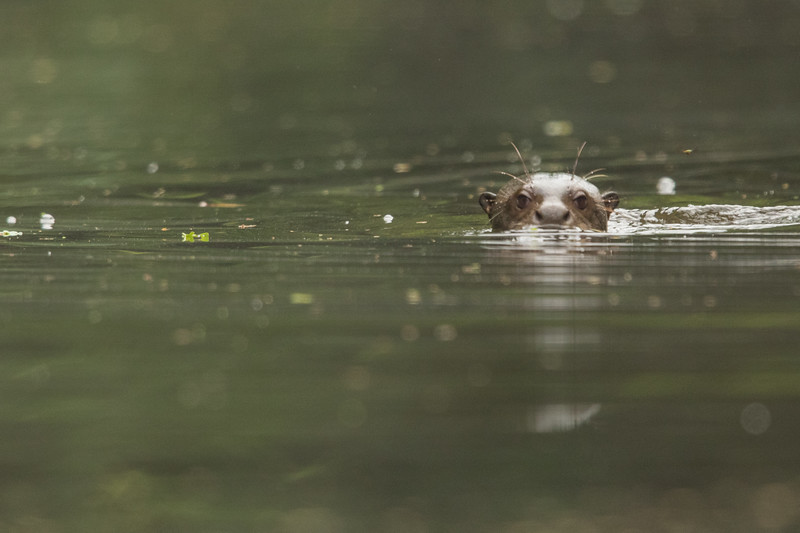 Giant River Otter - Amazon, Ecuador