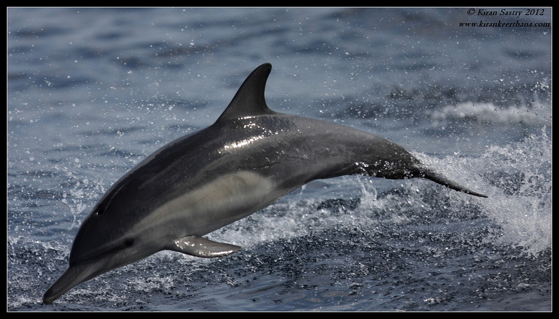 Common Dolphin riding the bow of the boat, Whale Watching trip, San Diego County, California, September 2012