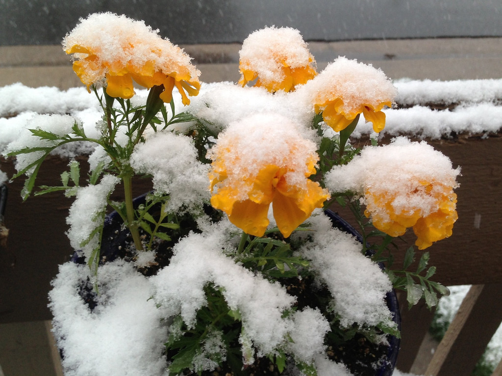 . Snow clings to flowers in Denver on Wednesday May 1, 2013. As much as a foot of snow is forecast for some areas of Colorado. (AP Photo/Ed Andrieski)