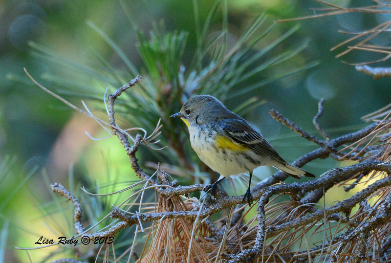 Yellow-rumped Warbler - Greenwood Cemetary - 11/30/13