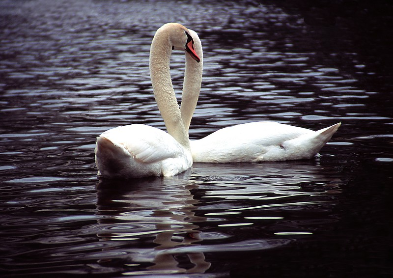 G Card Swans.jpg