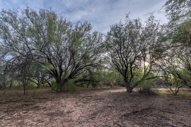 I-11 - Brawley Wash Mesquite Bosque #4