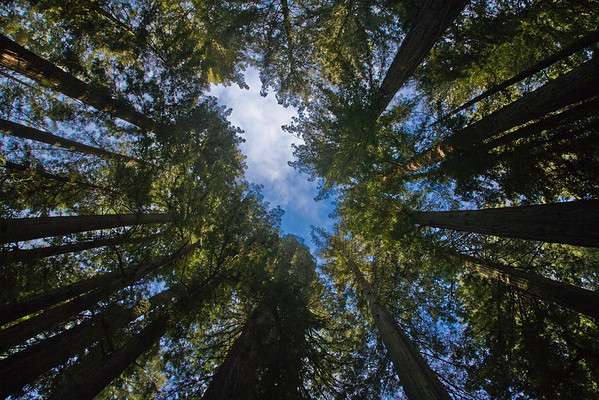 Ancient Forest, Redwood Grove