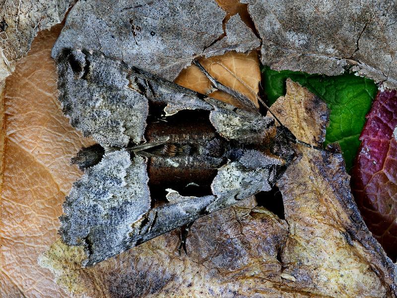Raspberry Looper Moth