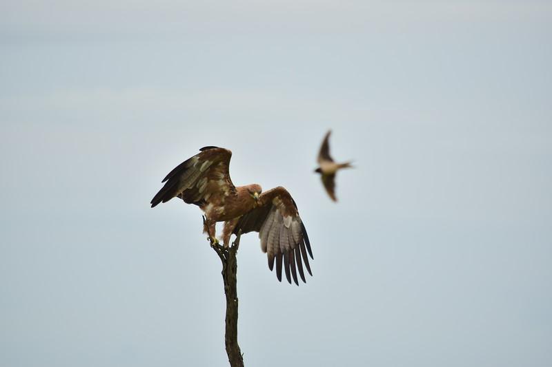 Perching Tawny Eagle