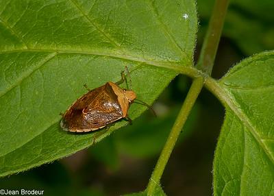 Les Hemipteres du Quebec, Pentatomoidea, Coreidae, Reduviidae et autres