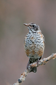 Thrushes-and-Allies