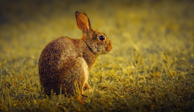 Florida Marsh Rabbit - 6.jpg