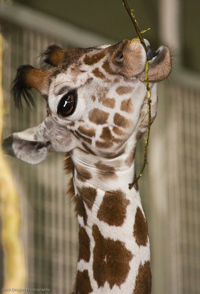 Reticulated Giraffe, Calgary Zoo, Nov. 30