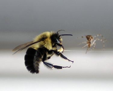 Bee v Spider