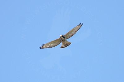 Hawk, Broad-Winged