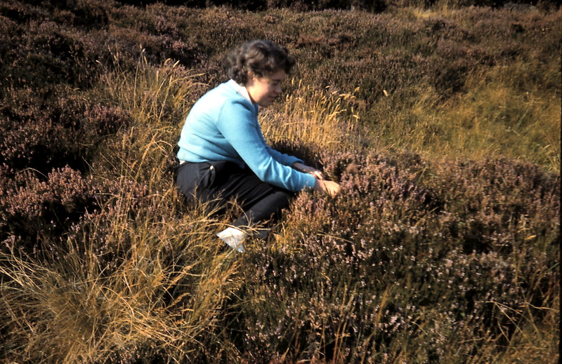 1959-9-5 (37) Picking heather @ Caithness, Scotland.JPG