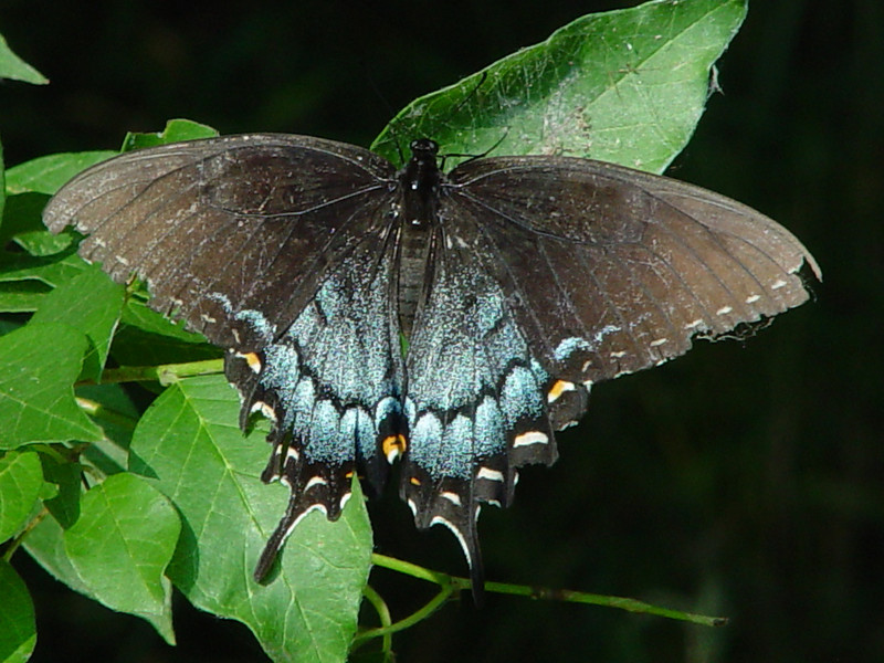 Ea. Tiger Swallowtail black female.jpg