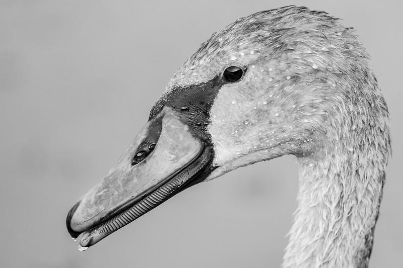 łabędź niemy | mute swan | cygnus olor