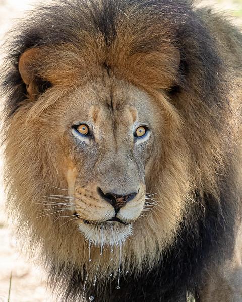 lion looking.jpg