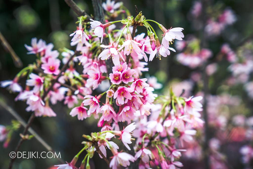 Gardens by the Bay - Sakura Matsuri 2018 floral display - flower field sakura vivid