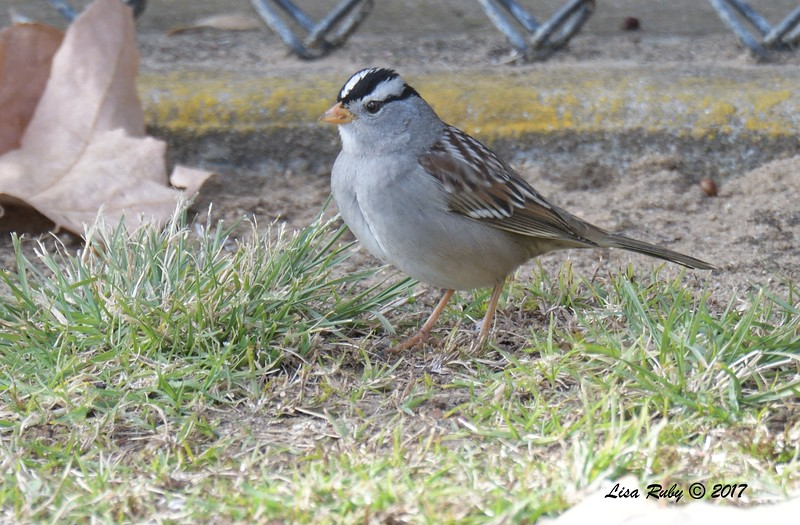 White-crowned Sparrow  - 12/22/2017 - South Creek Park, Sabre Springs