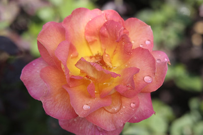 2011 Central Park  Rose Garden