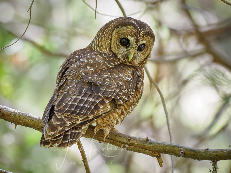 200712-Spotted Owls Butte County-7129658.jpg