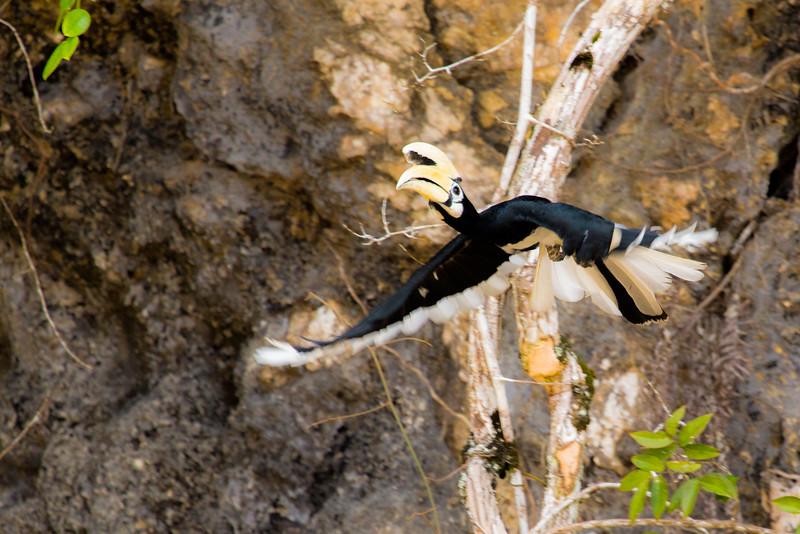 Oriental Pied Hornbill In Flight