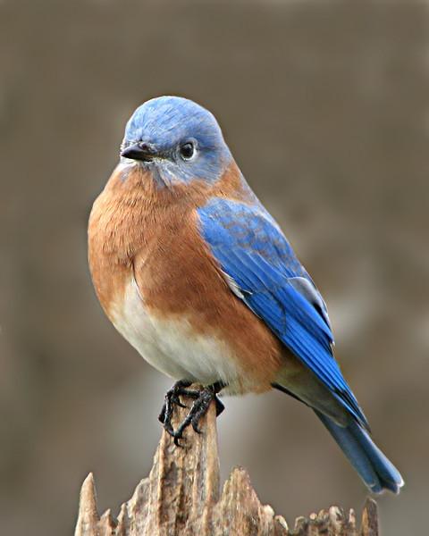 bluebird_0606.jpg