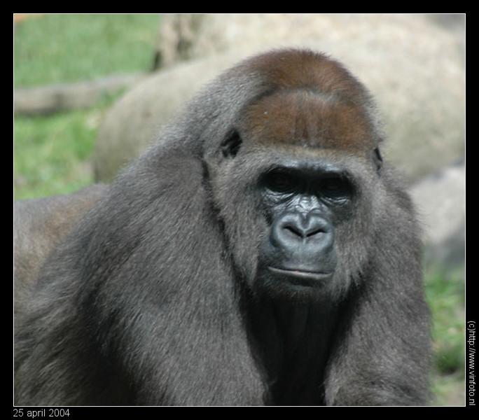 gorilla-border.jpg