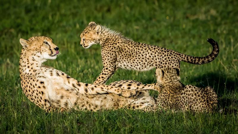 Cheetahs-0215.jpg