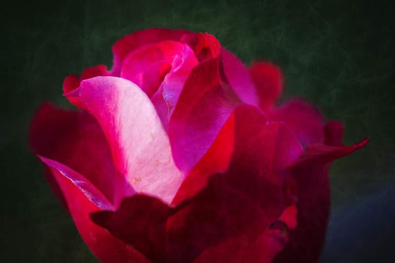 November 5 - Rose.jpg