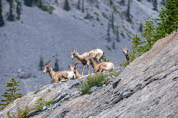 7-23-20 Big Horn Sheep KC