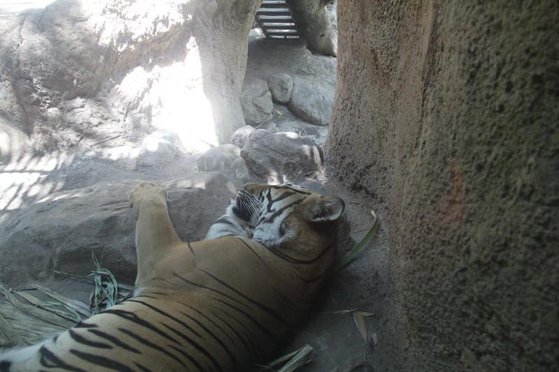 20170807-157 - San Diego Zoo - Tiger.JPG