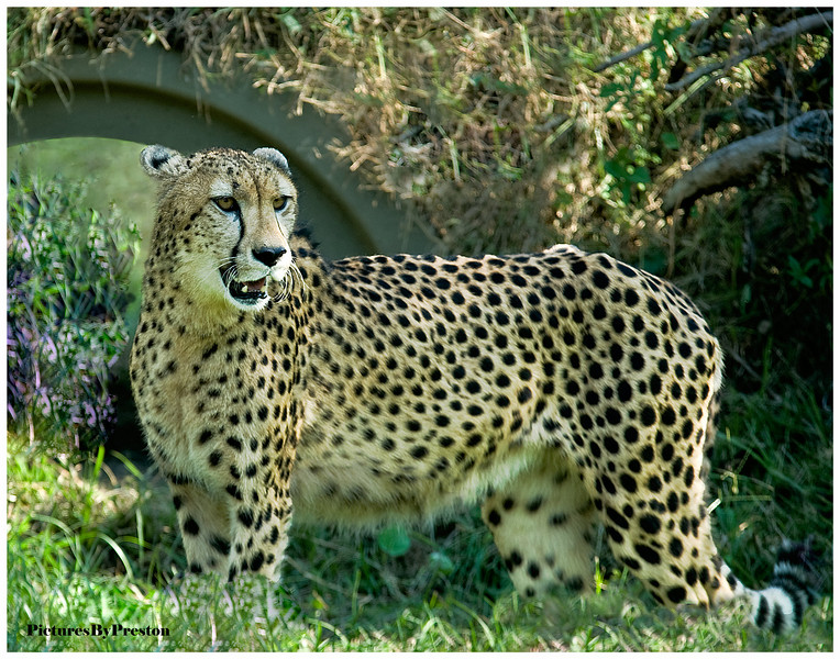"The cheetah has a slender, long-legged body with blunt semi-retractable claws. Its chest is deep and its waist is narrow. The coarse, short fur of the cheetah is tan with round black spots measuring from 2 to 3 cm (¾ to 1¼ inches) across, affording it some camouflage while hunting. There are no spots on its white underside, but the tail has spots, which merge to form four to six dark rings at the end. The tail usually ends in a bushy white tuft. The cheetah has a small head with high-set eyes. Black ""tear marks"" run from the corner of its eyes down the sides of the nose to its mouth to keep sunlight out of its eyes and to aid in hunting and seeing long distances.