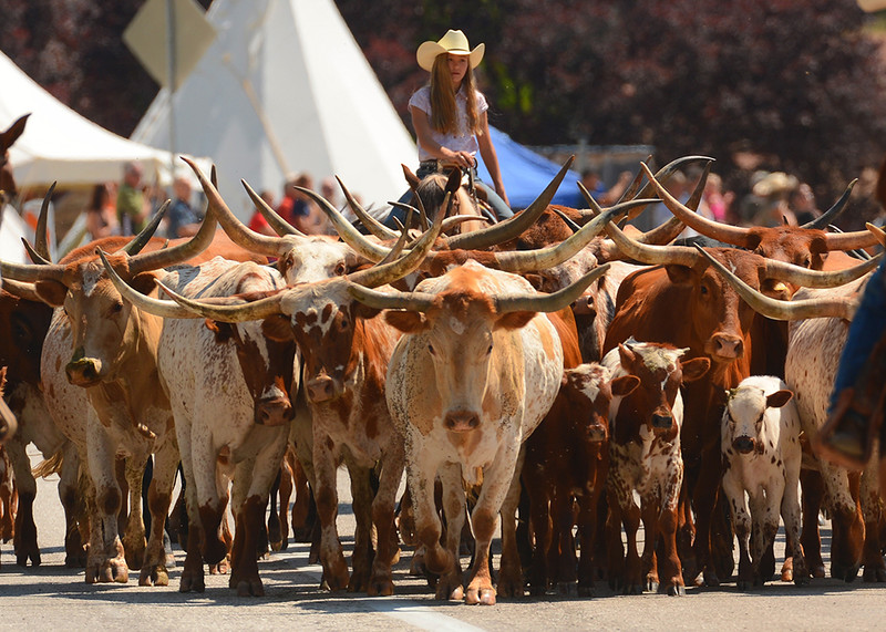 Western Legends - parade cattle drive - KCOT.jpg