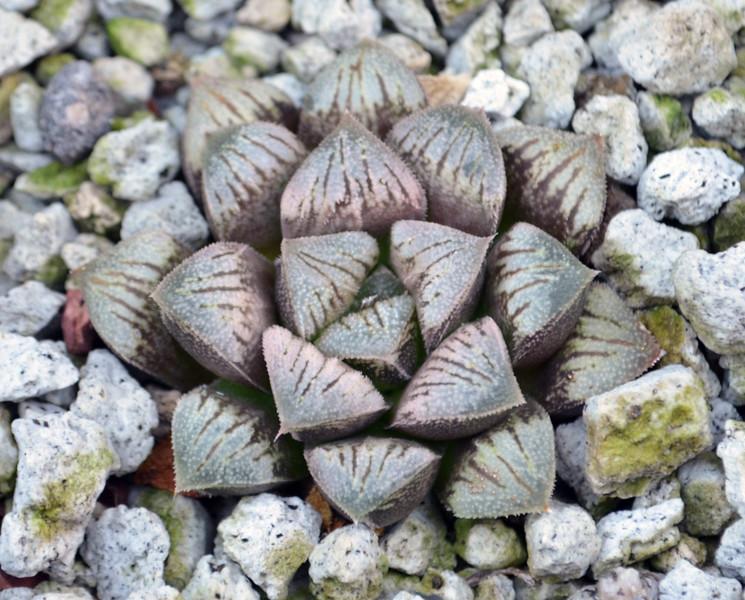 Haworthia Pigmo