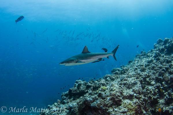 Palau Sharks