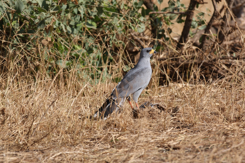 Pale Chanting Goshawk on a dove