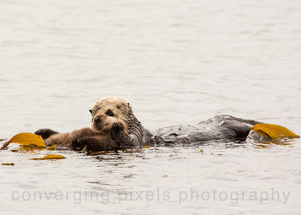 Morro Bay- Mom sea otter with her 3 week old pup. 7613