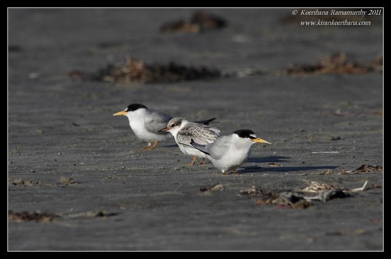 Least Terns, Robb Field, San Diego River, San Diego County, California, July 2011