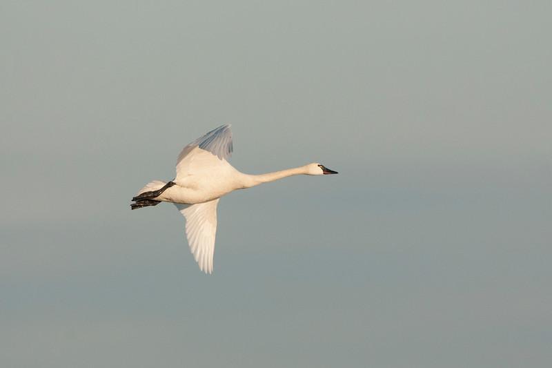 Tundra Swan in Flight.jpg