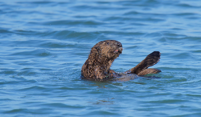 Sea Otter at Elkhorn Slough