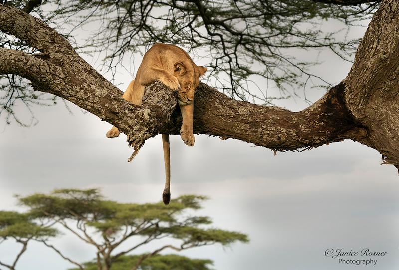 Sleepy Lioness II
