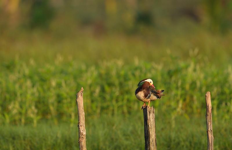 Mandarin-duck-Little-andaman.jpg